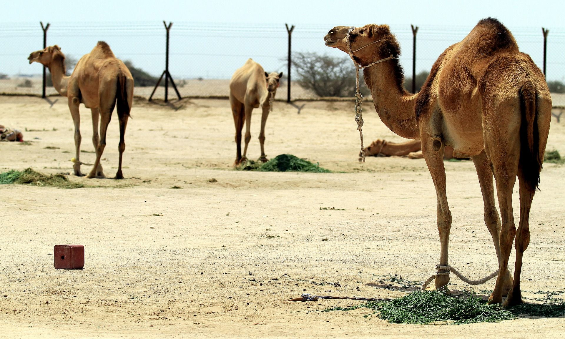 camel-3567271_1920