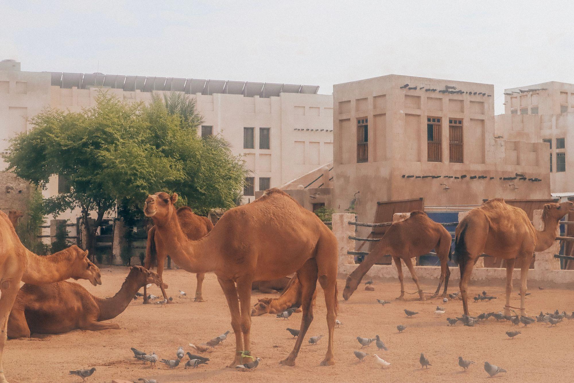 camelsouq1
