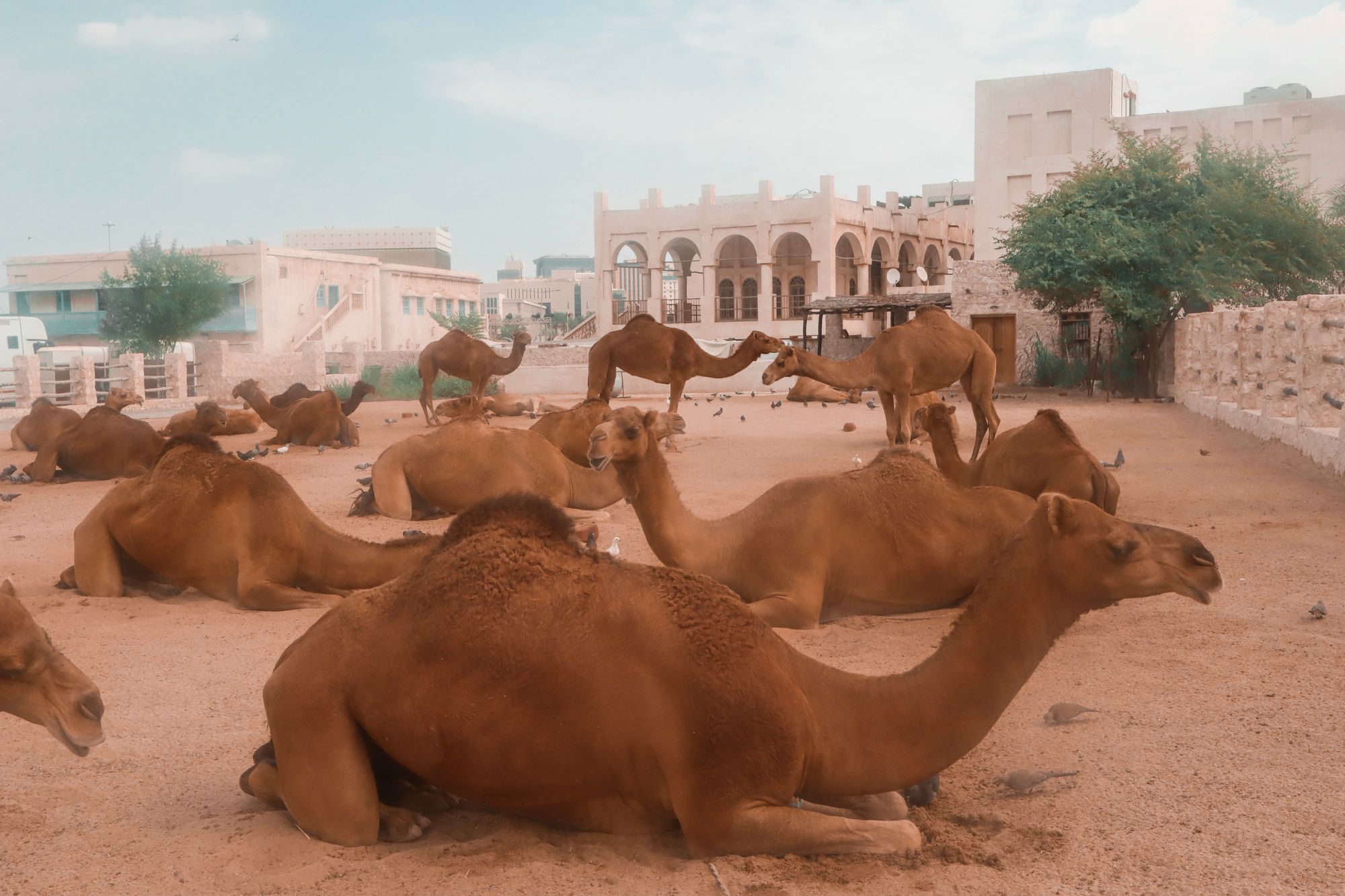 The Best Places To See Camels In Doha