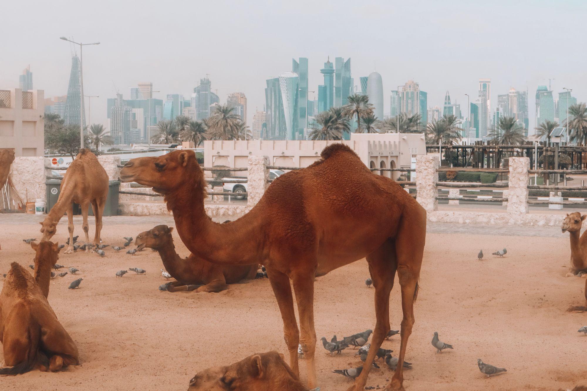 camelsouq3